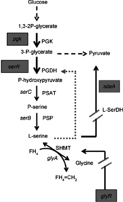 Strategy to engineer C. glutamicum for L-serine production