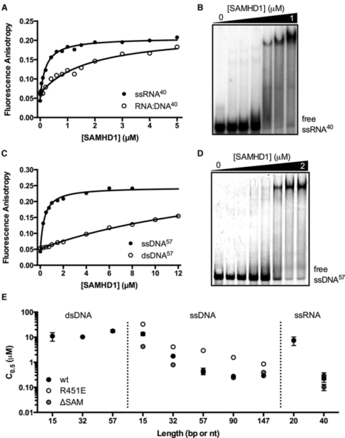 small resolution of samhd1 is a single stranded nucleic acid binding protein a binding of