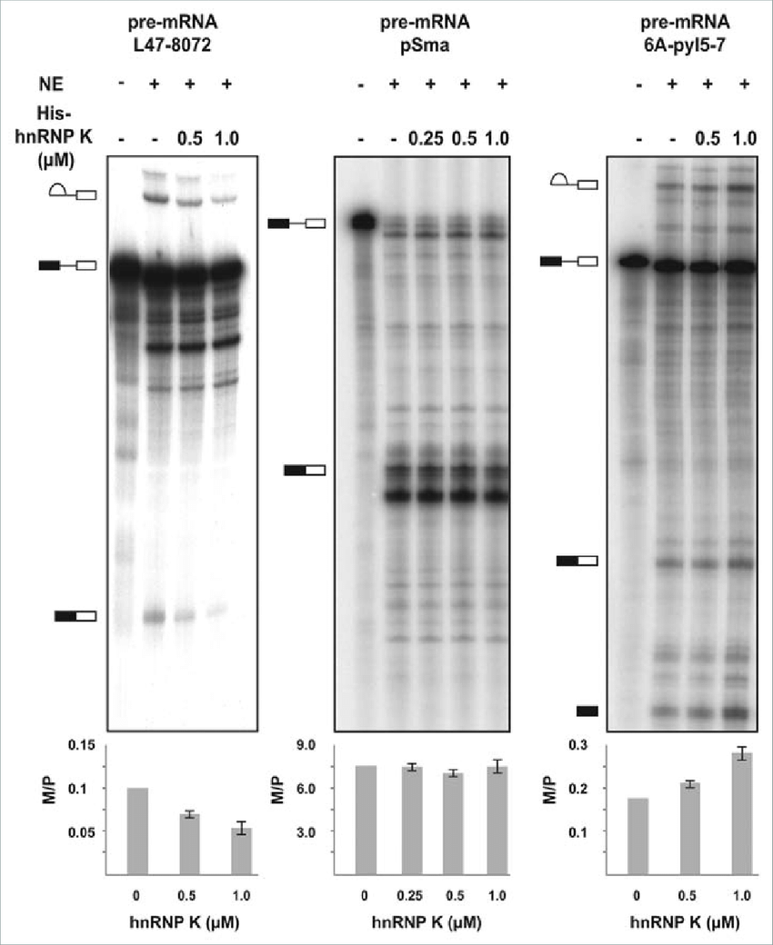 hight resolution of recombinant hnrnp k inhibits in vitro splicing of a d4 a7 mini intron download scientific diagram