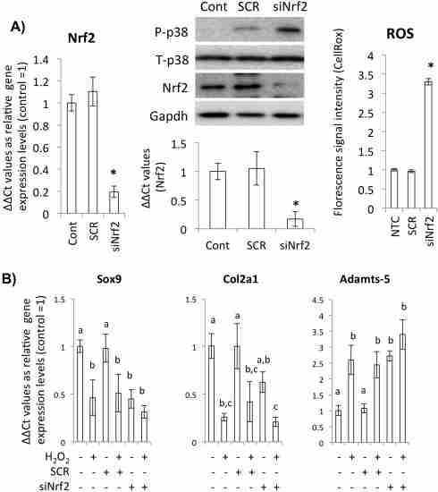Nrf2 is a critical factor to scavenge ROS in chondrocytes