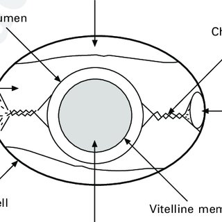 (PDF) Egg formation and chemistry