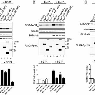 (PDF) Binding of SGTA to Rpn13 selectively modulates