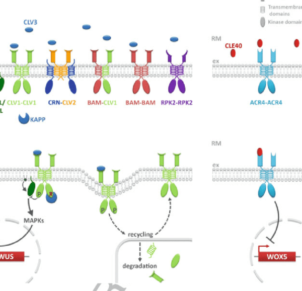 Receptor Complexes Involved In Meristem Maintenance
