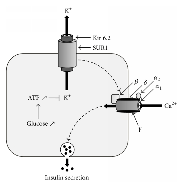 Mechanism of insulin secretion by the KATP channel in