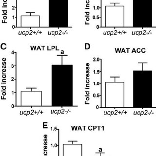 UCP2 controls fat metabolism gene expression profile in