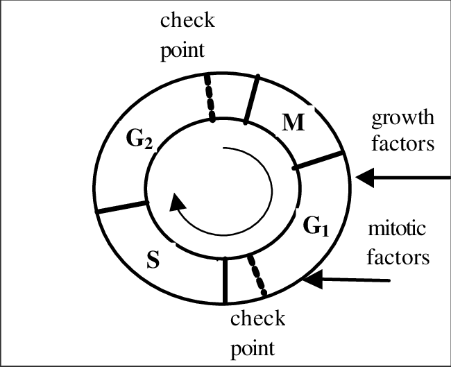 Schematic diagram of cell cycle phases: M mitotic, G 1 gap