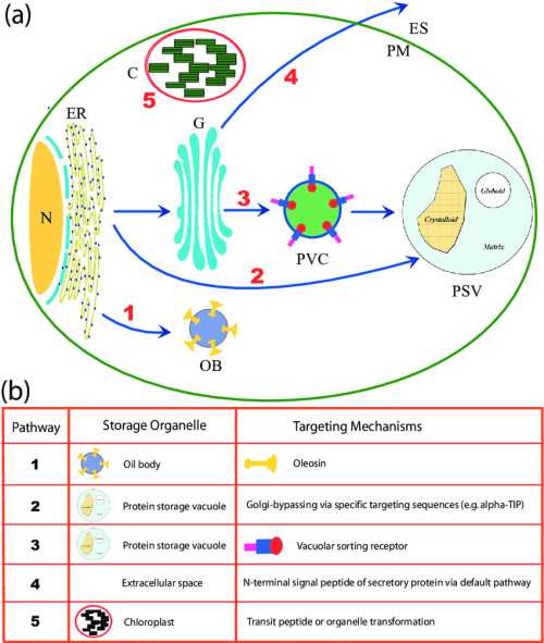 small resolution of the plant bioreactor system plant bioreactor via protein compartmentation within a plant cell shown