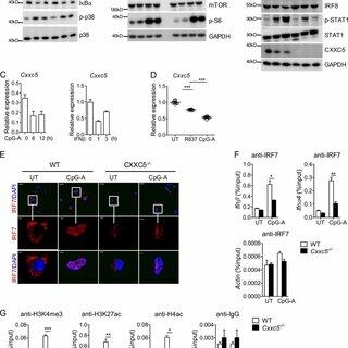 (PDF) Epigenetic regulator CXXC5 recruits DNA demethylase