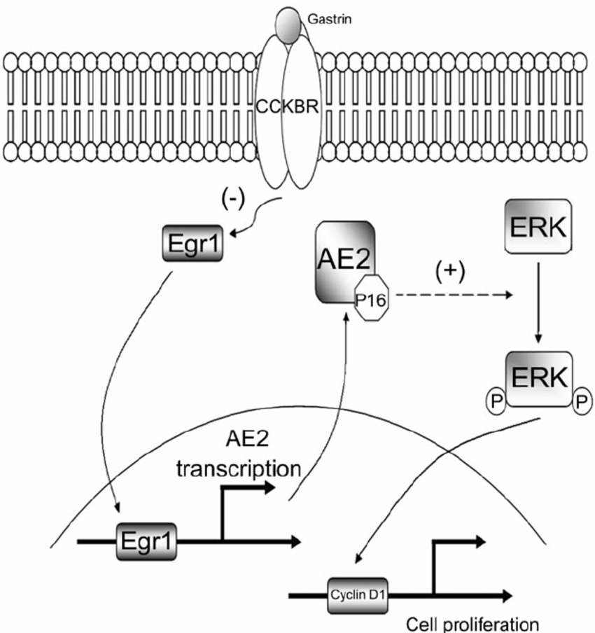 Diagram of a proposed novel EGR1/AE2/P16/P-ERK signal