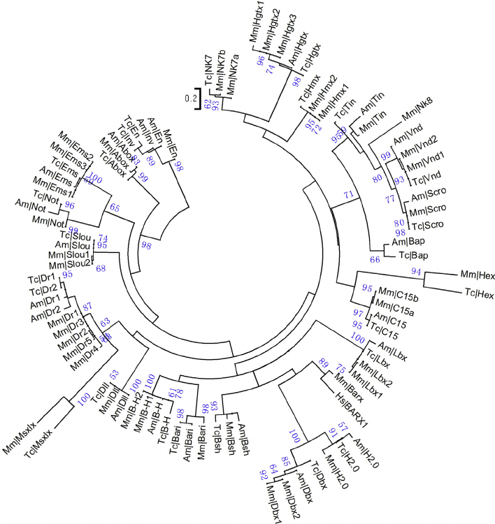 Maximum likelihood phylogenetic tree of the NKL subclass