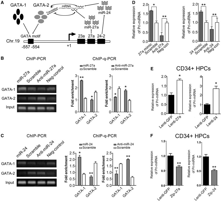 A regulatory circuit comprising GATA1/2 switch and