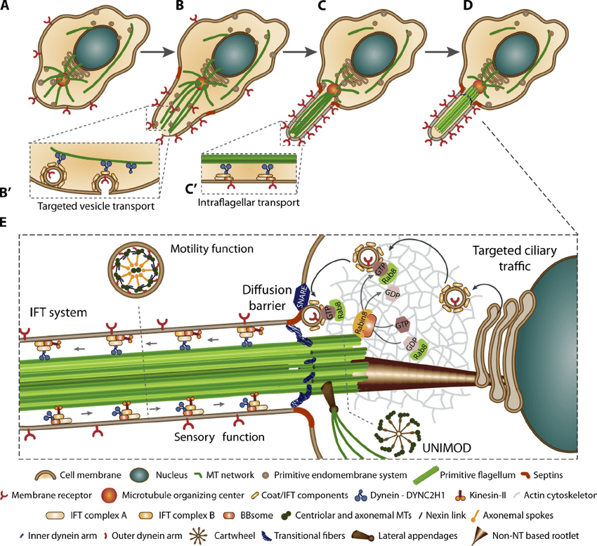 eukaryotic endomembrane system cell diagram water heater timer wiring autogenous theory for the origin of sensory motile flagellum a where proto cilium evolved likely had cytoskeleton composed actin and mts that converged in mtoc