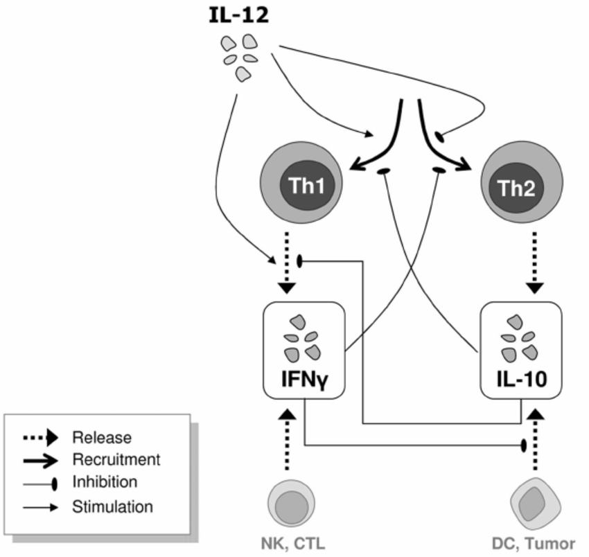 Scheme of our mathematical model for the Th1/Th2 immune