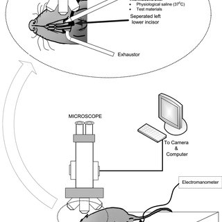 A schematic illustration of the rat aorta preparation in