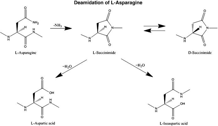 Deamidation of l-Asparagine (and glutamine) initiated