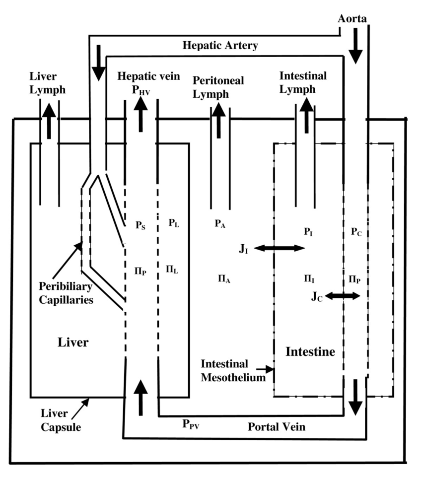 hight resolution of schematic diagram of the peritoneal space the intestine represents all non hepatic intraperitoneal organs including the mesentery