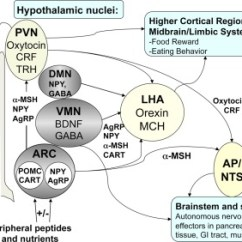 Msh Brain Wiring Diagram Double Bond Electron Dot Key Regulators Of Energy Homeostasis In The Model Weight Download Scientific