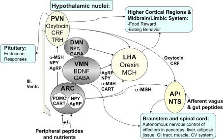 msh brain wiring diagram cherokee venn key regulators of energy homeostasis in the model weight download scientific