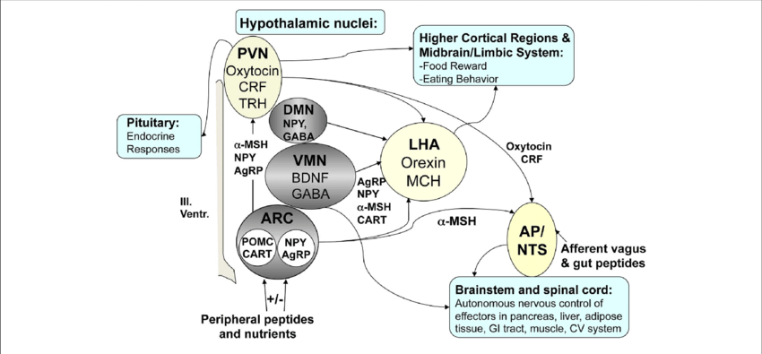 msh brain wiring diagram 2007 yamaha rhino 660 key regulators of energy homeostasis in the model weight download scientific