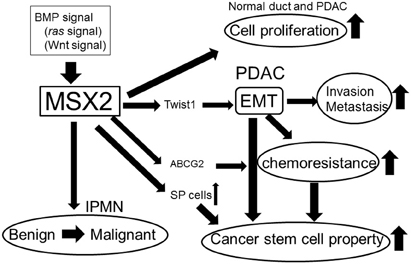 Summary of the roles of MSX2 in pancreatic tumor