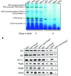 abundance analysis of thylakoid membrane protein complexes from leaves incubated in dark a  [ 850 x 1066 Pixel ]