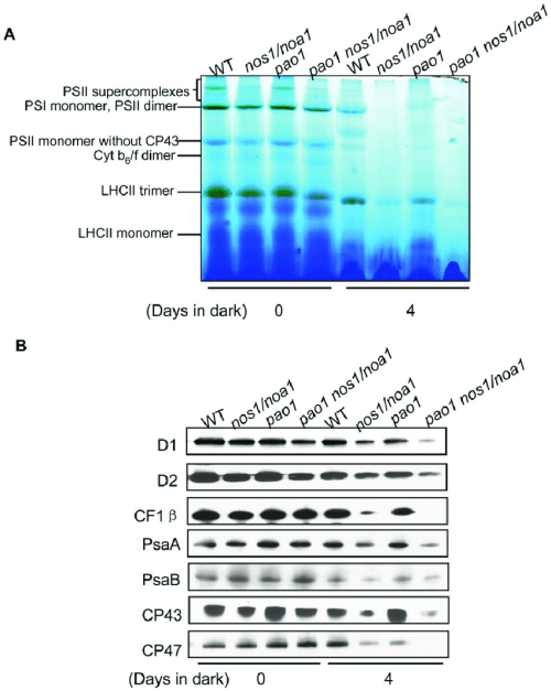 small resolution of abundance analysis of thylakoid membrane protein complexes from leaves incubated in dark a