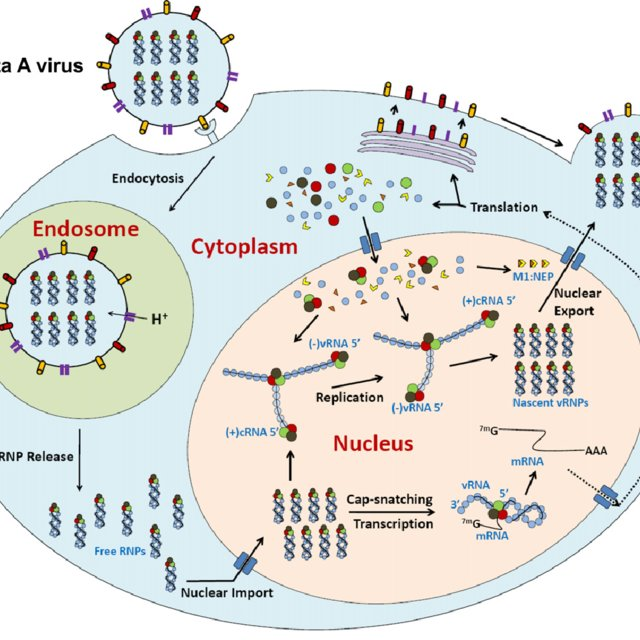 The influenza A virus life cycle. The RNPs are represented by ...