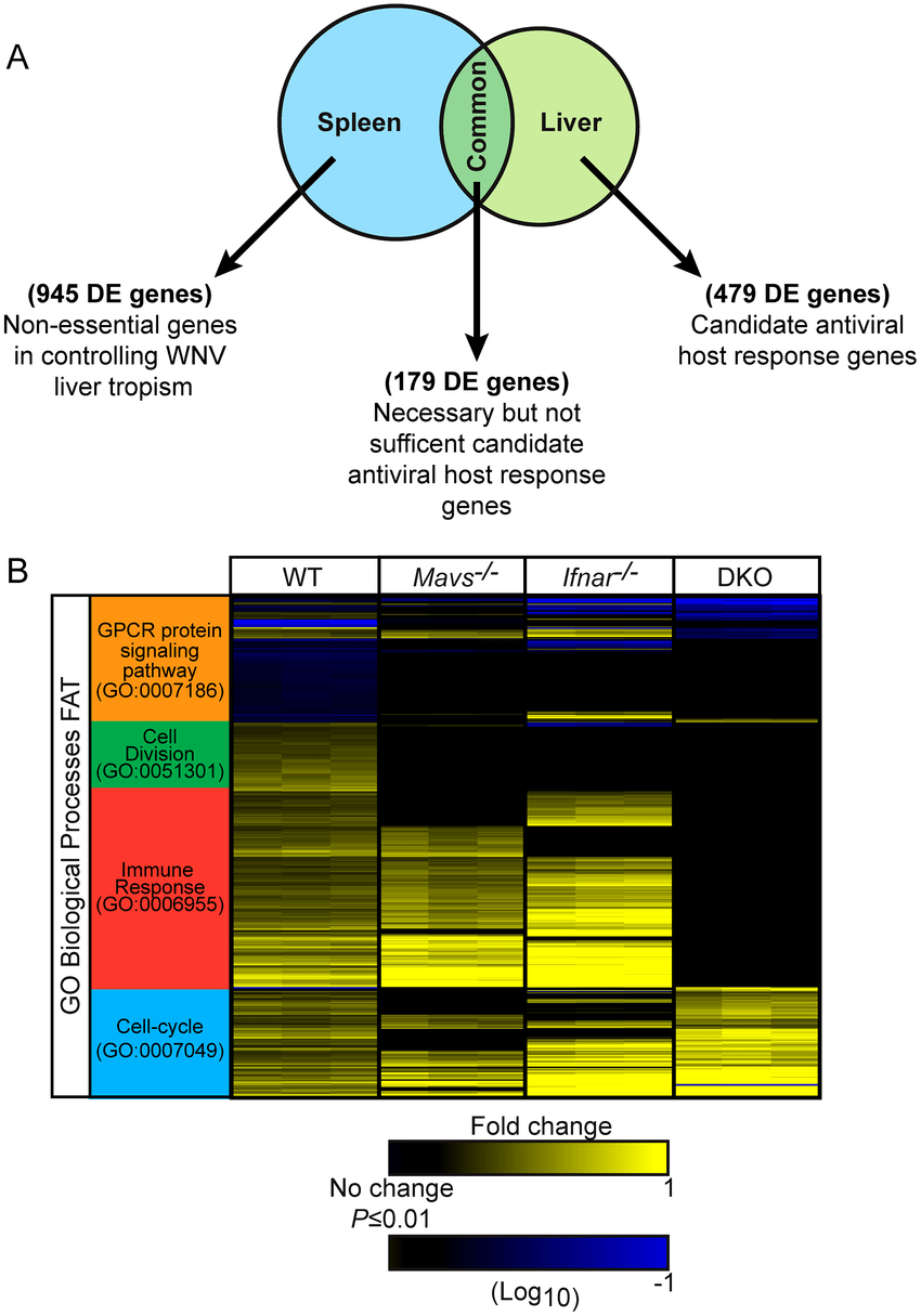 hight resolution of  a venn diagram between spleen and liver tissues from wt infected mice b hierarchical clustering of 658 differentially expressed genes between liver