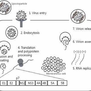(PDF) Hepatitis C virus: Virology and life cycle