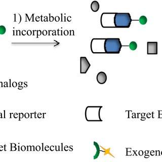 (PDF) Applications of Azide-Based Bioorthogonal Click
