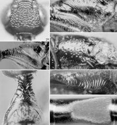 hemistephanus colombiensis holotype 29 head dorsal 30 semiannular and ventral area [ 850 x 981 Pixel ]