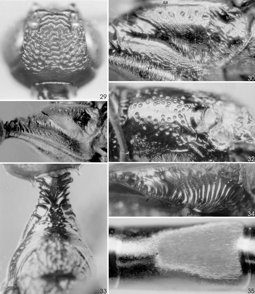 hight resolution of hemistephanus colombiensis holotype 29 head dorsal 30 semiannular and ventral area