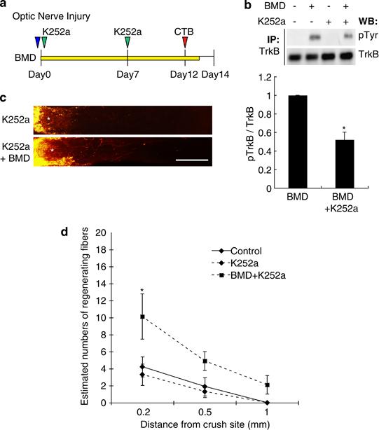 Brimonidine promotes optic nerve regeneration after the ...