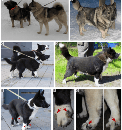chondrodysplastic and normal norwegian elkhounds and karelian bear dogs a a 5 year old affected female norwegian elkhound with chondrodysplasia left  [ 850 x 950 Pixel ]