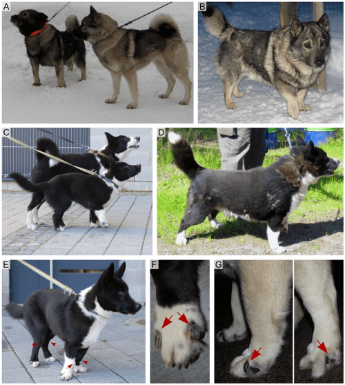 small resolution of chondrodysplastic and normal norwegian elkhounds and karelian bear dogs a a 5 year old affected female norwegian elkhound with chondrodysplasia left