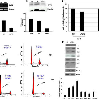 Effect of WT1 siRNA transfection on the cell growth and