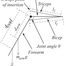 Modified parallel Hill muscle model incorporating a free