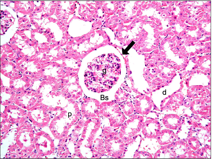bowman s capsule diagram 4l60e transmission wiring malpighian renal corpuscle containing a glomerulus g space bs parietal layer of arrow proximal convoluted tubules pct