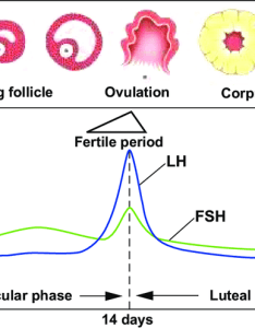 Diagram of hormonal fluctations in the menstrual cycle notes day is first menstruation during follicular phase lh also rh researchgate