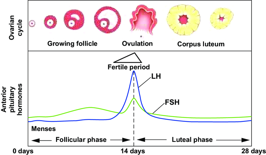 menstrual cycle diagram with ovulation deer skeleton of hormonal fluctations in the notes day 0 is first menstruation during follicular phase lh