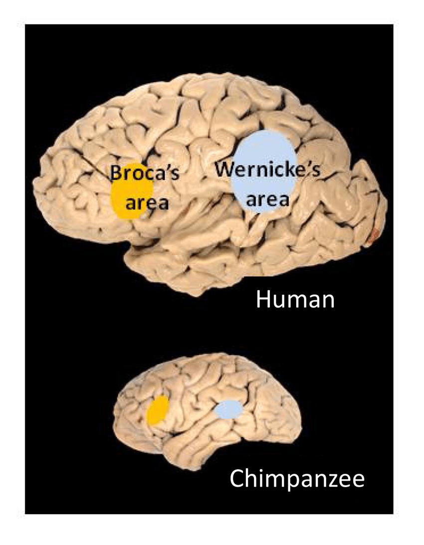 lower brain diagram 220v dryer plug wiring human showing broca s and wernicke areas upper of chimpanzee leftward enlargement