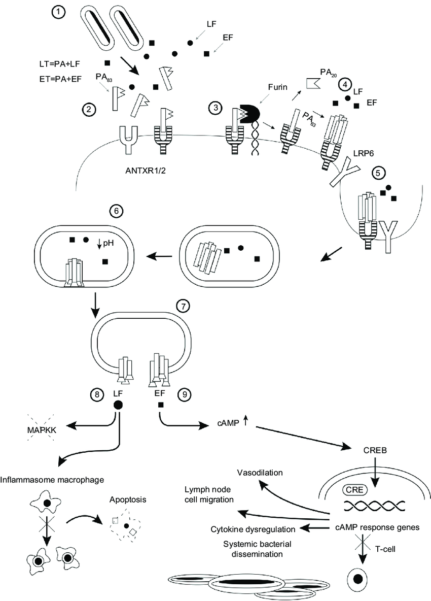 medium resolution of pathophysiology of anthrax illustrated as a series of steps 1 bacillus anthracis spores germinate