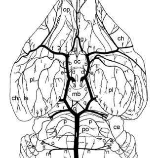 Schematic drawing of ventral view of the rabbit's brain