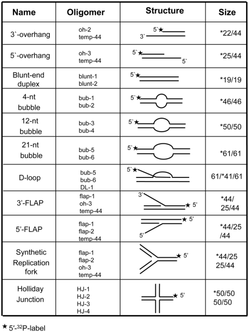 small resolution of structures of dna substrates for helicase assays the labeled oligonucleotides were annealed to unlabeled complementary