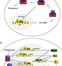 transcriptional negative feedback in the clock schematic representation of circadian negative feedback in a neurospora and b mammals  [ 850 x 1149 Pixel ]