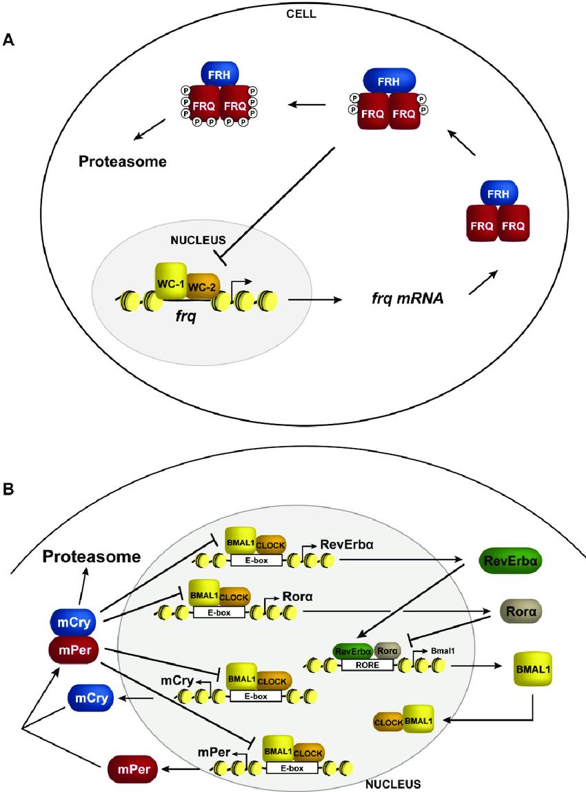 medium resolution of transcriptional negative feedback in the clock schematic representation of circadian negative feedback in a neurospora and b mammals