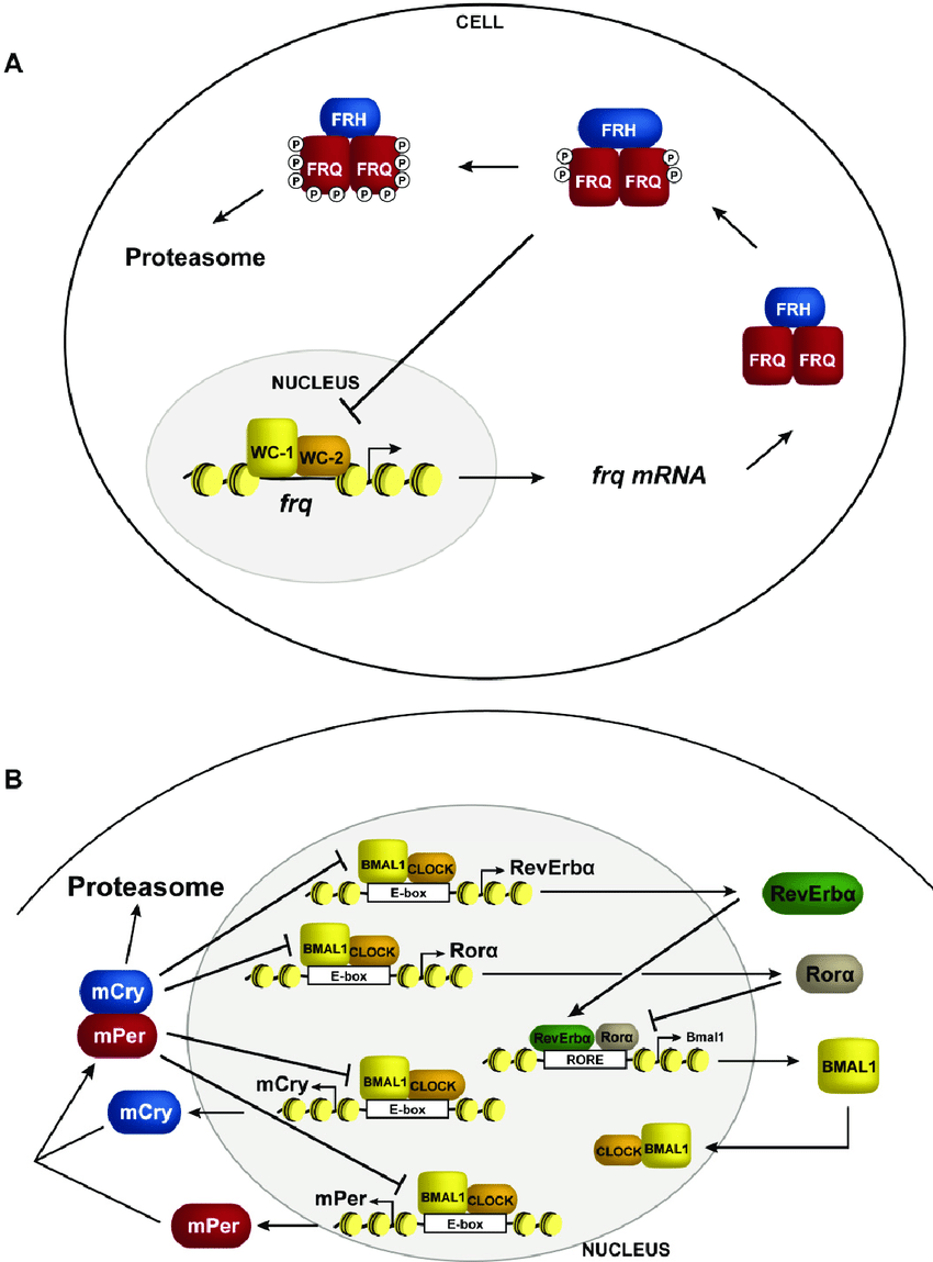 hight resolution of transcriptional negative feedback in the clock schematic representation of circadian negative feedback in a neurospora and b mammals