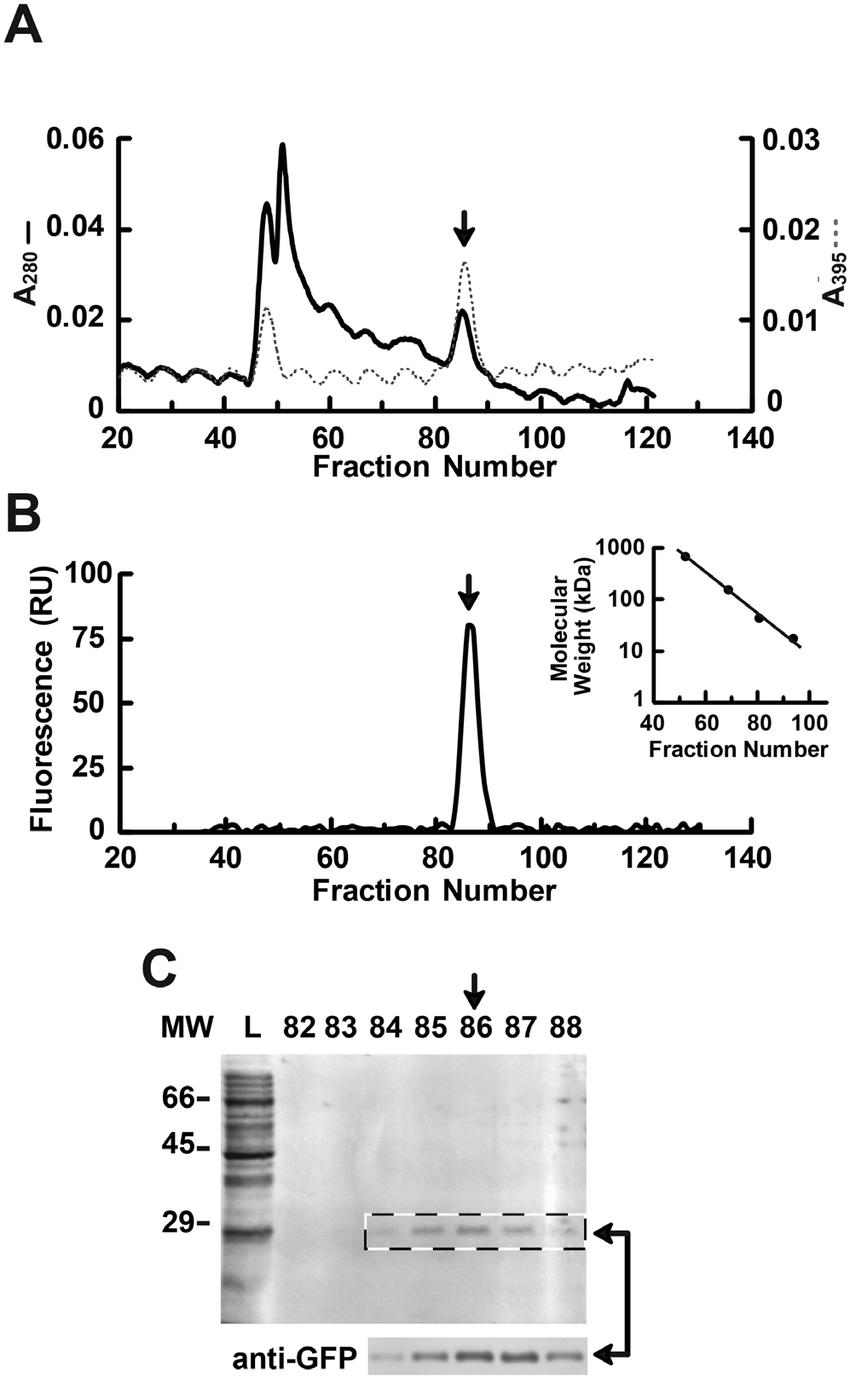 hight resolution of size exclusion chromatography elution profile of pooled gfp containing download scientific diagram