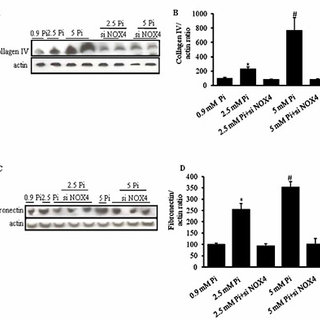 High phosphate levels inactivate LKB1 in iHMCs