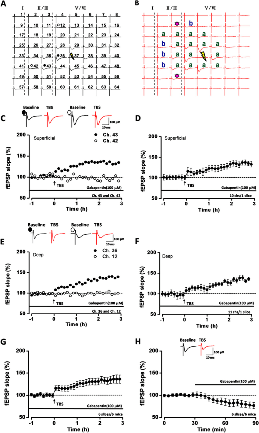 medium resolution of basic synaptic transmission and ltp in the acc with gabapentin application a b two